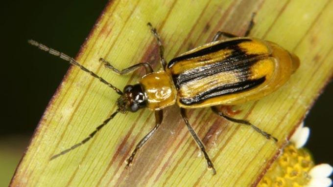 У селі Радомишльського району оголосили карантин через кукурудзяного жука