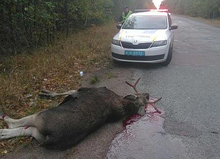 На Радомишльщині автомобіль вбив лося, який раптово вибіг на дорогу. + ФОТО