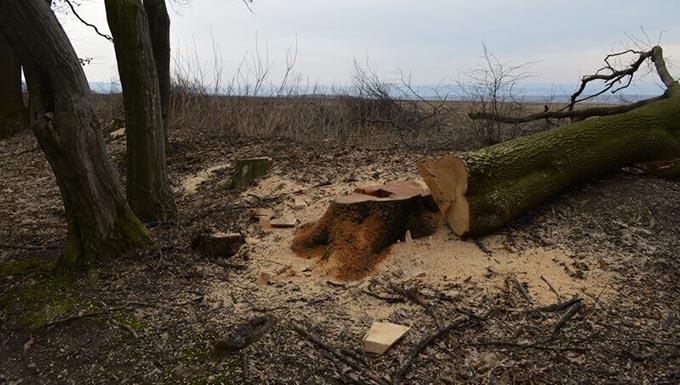 У Радомишльському районі на підприємця впало дерево, чоловік загинув