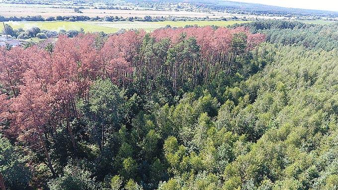 На Житомирщині створили обласний штаб з ліквідації наслідків всихання хвойних лісових насаджень