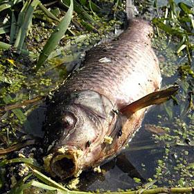 Гострий сигнал: Знову гине риба