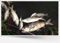 Причина екологічної катастрофи в Радомишлі.